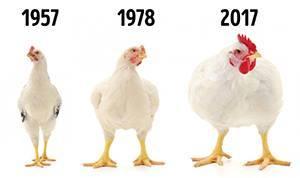 Пилетата са станали много големи