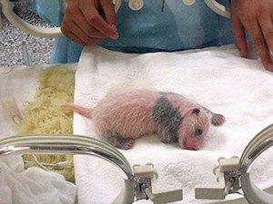 Новороденото панда