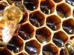 Медът лекува 100 болести