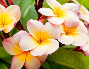 ПЛУМЕРИЯ - божественото цвете на маите